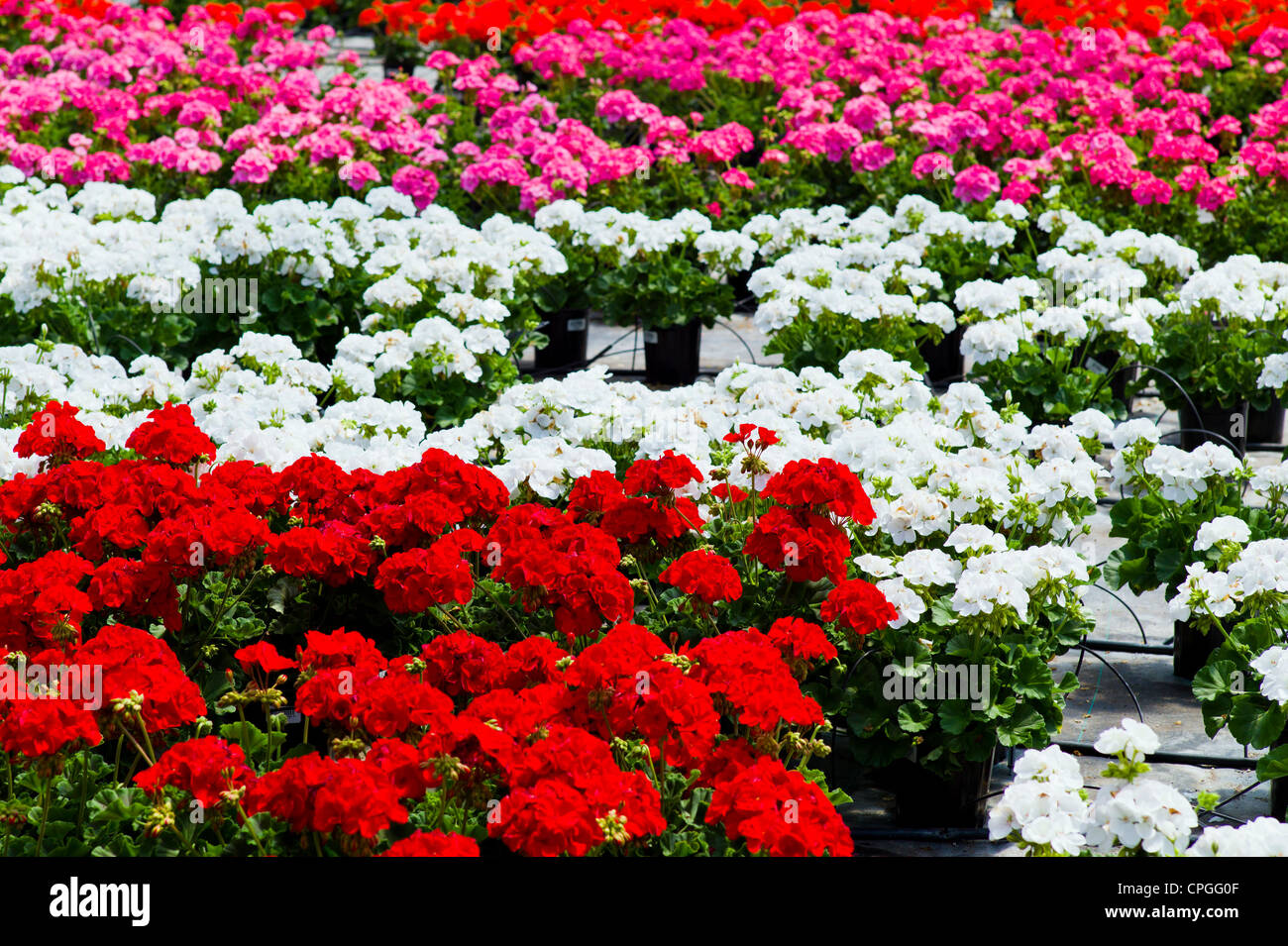 Fresh spring Geranium flowers for sale at a small town nursery. - Stock Image