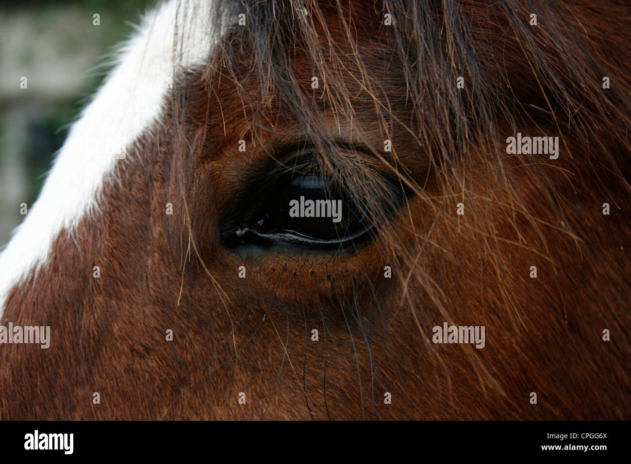 A brown horse with white strip marking on forehead Stock Photo