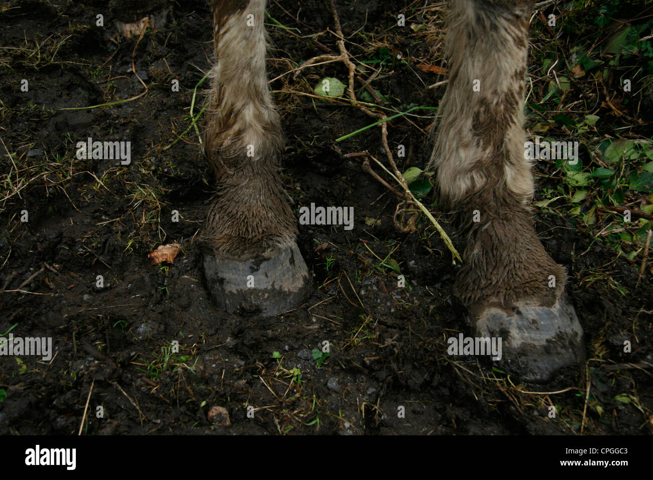 Horse hooves in mud. - Stock Image