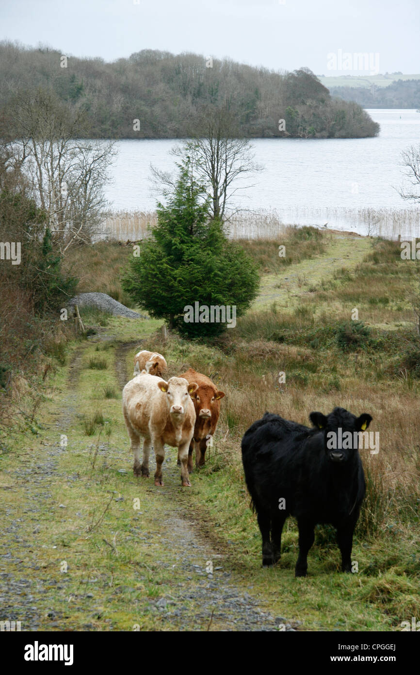 Cattle walking along path in a field by lake waters edge Stock Photo