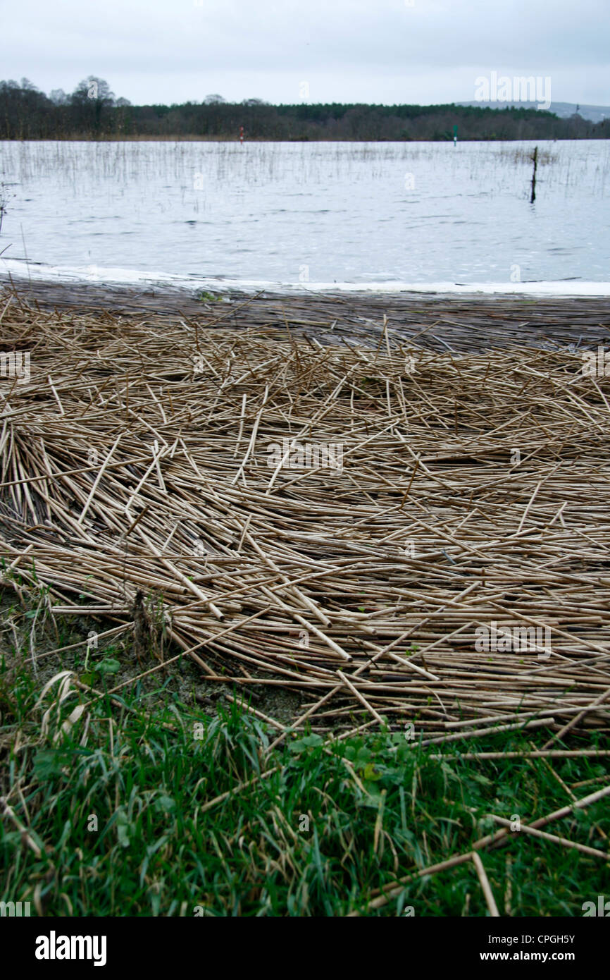 Flattened reeds by lakes edge - Stock Image