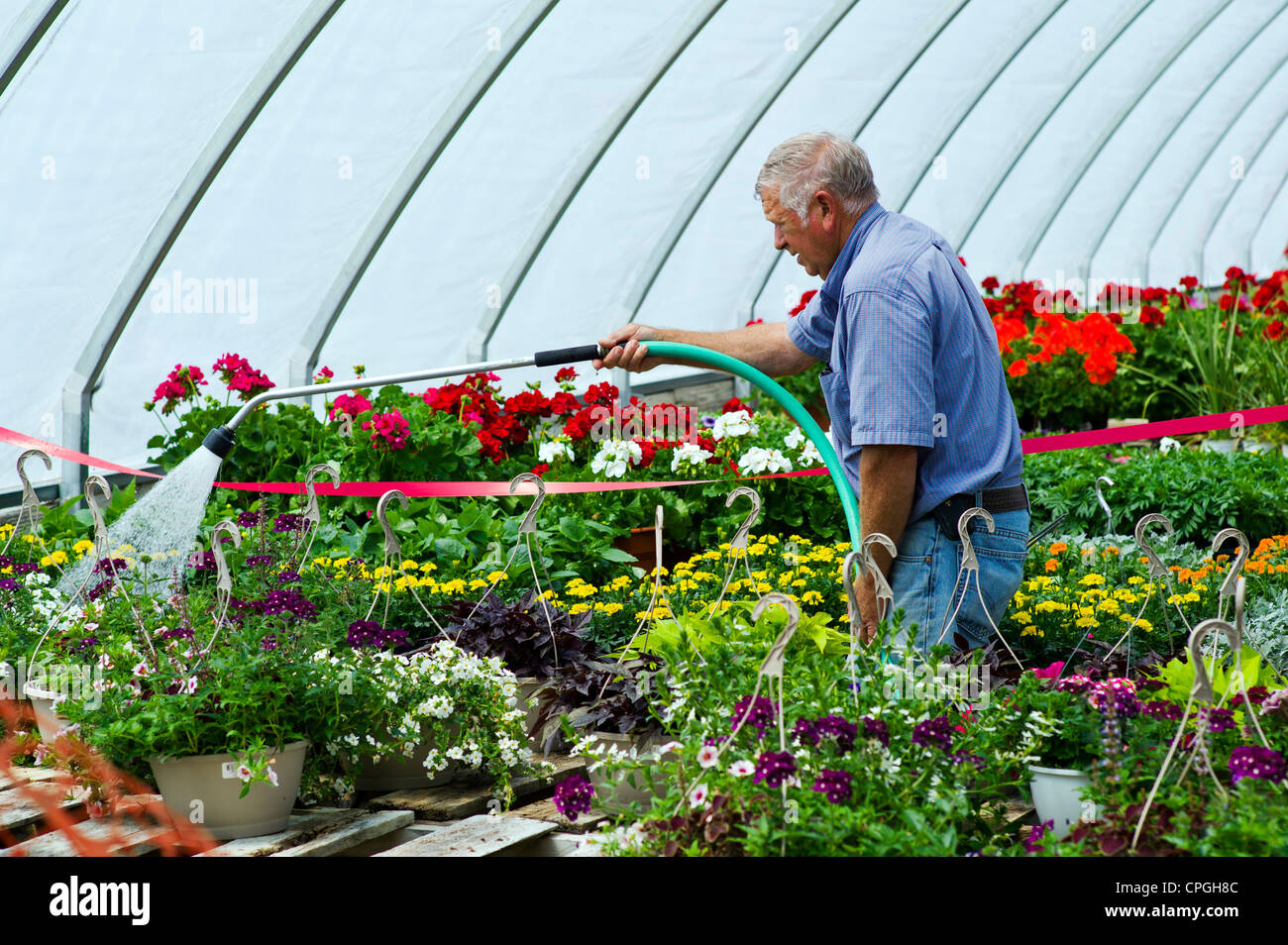 Gardener watering fresh spring flowers for sale at a small town gardener watering fresh spring flowers for sale at a small town nursery mightylinksfo