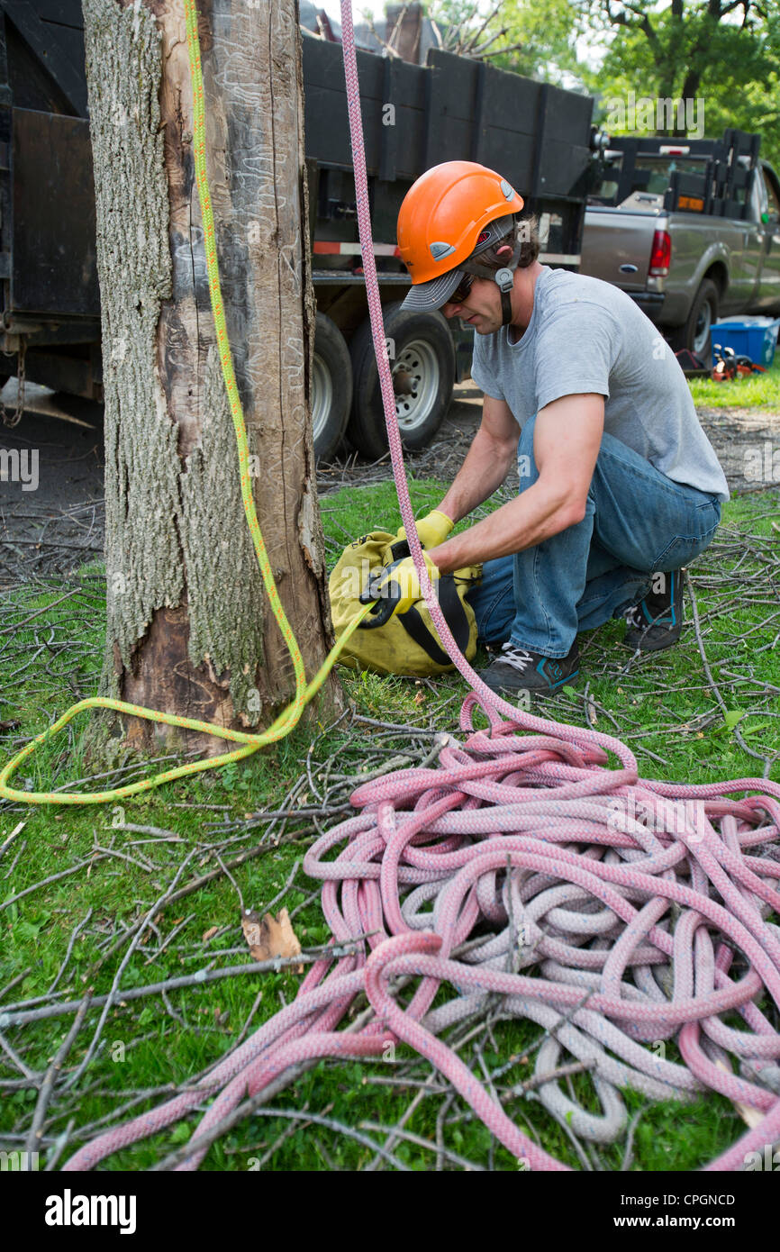 Workers Take Down Ash Tree Killed by Emerald Ash Borer - Stock Image