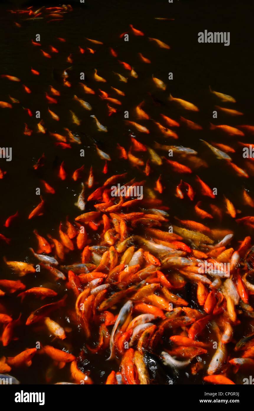 Koi Fish Feed Stock Photos & Koi Fish Feed Stock Images - Alamy