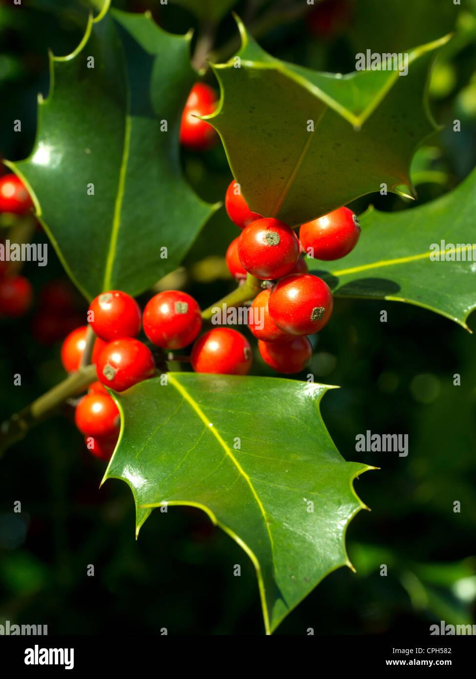 berry, drupe, Emmental, flora, fruit, shrub, bush, toxicity, inflorescence, leaf, red, nature, canton Bern, Lüderenalp, - Stock Image