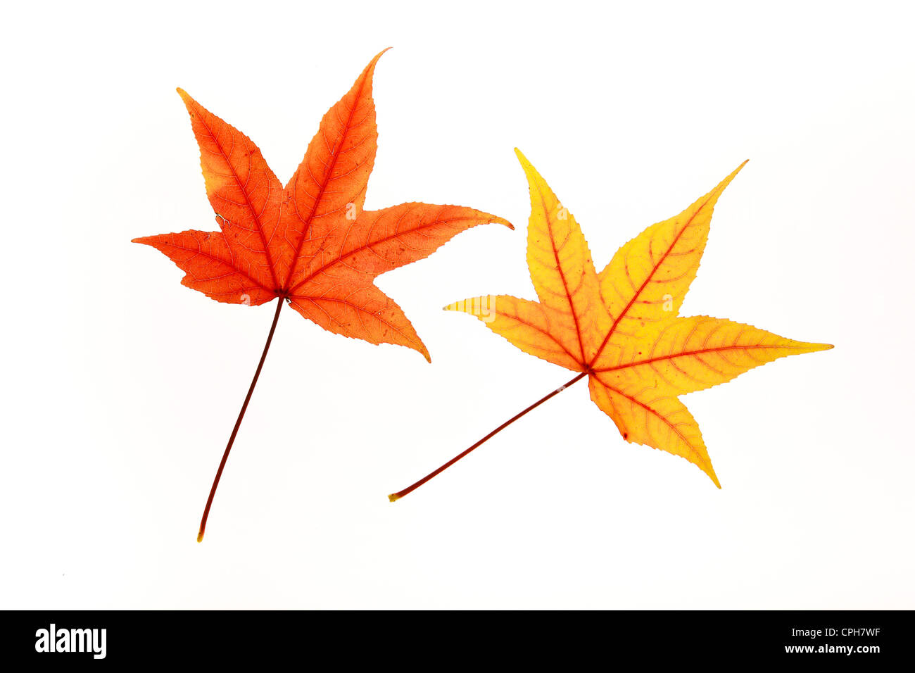 Maple, leaf, leaves, detail, isolated, back light, autumn, autumn color, autumn colors, autumn foliage, colouring, Stock Photo