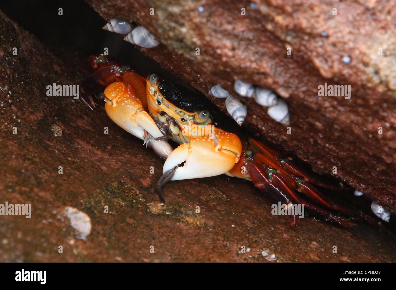 bright, cancer, Red bluff Beach, Kalbarri, National, park, western Australia, eat, west coast, coast, Australia, - Stock Image