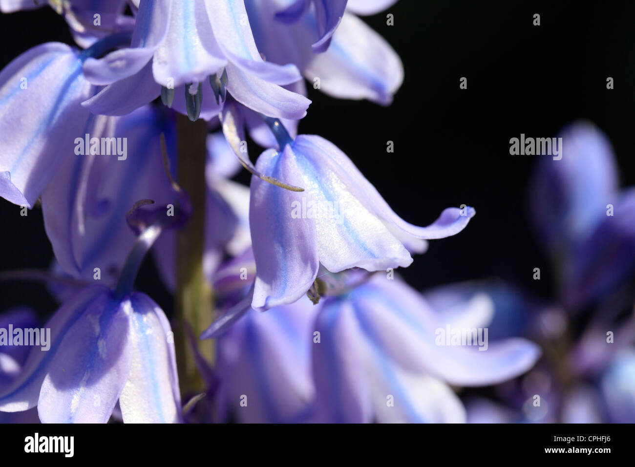 Close up of bluebells Stock Photo