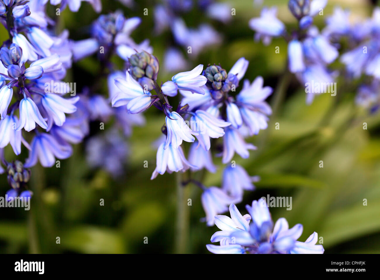 Bluebell flowers in a garden Stock Photo