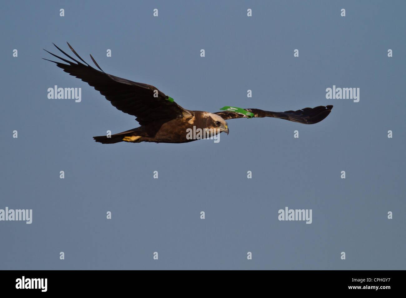 Female Marsh Harrier (Circus aeruginosus) with wing tags, Welney, Norfolk Stock Photo