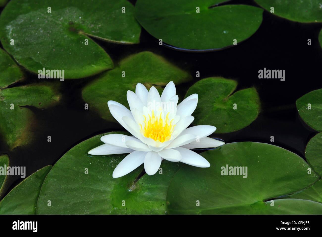 Lotus flower florist stock photos lotus flower florist stock white water lily with lotus leaf on pond stock image mightylinksfo