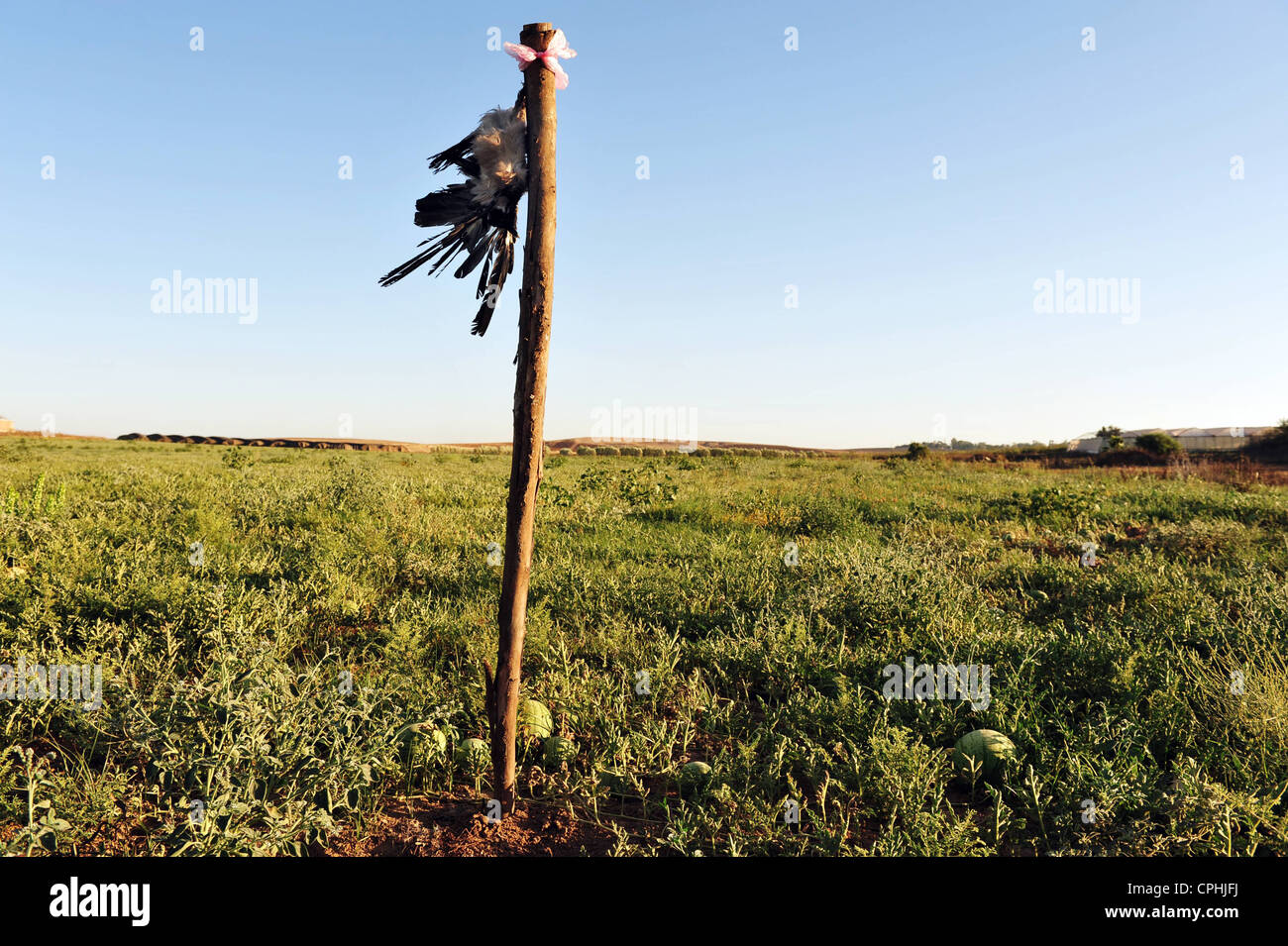 A dead crow hang in a watermelon field used to scare live crows. - Stock Image