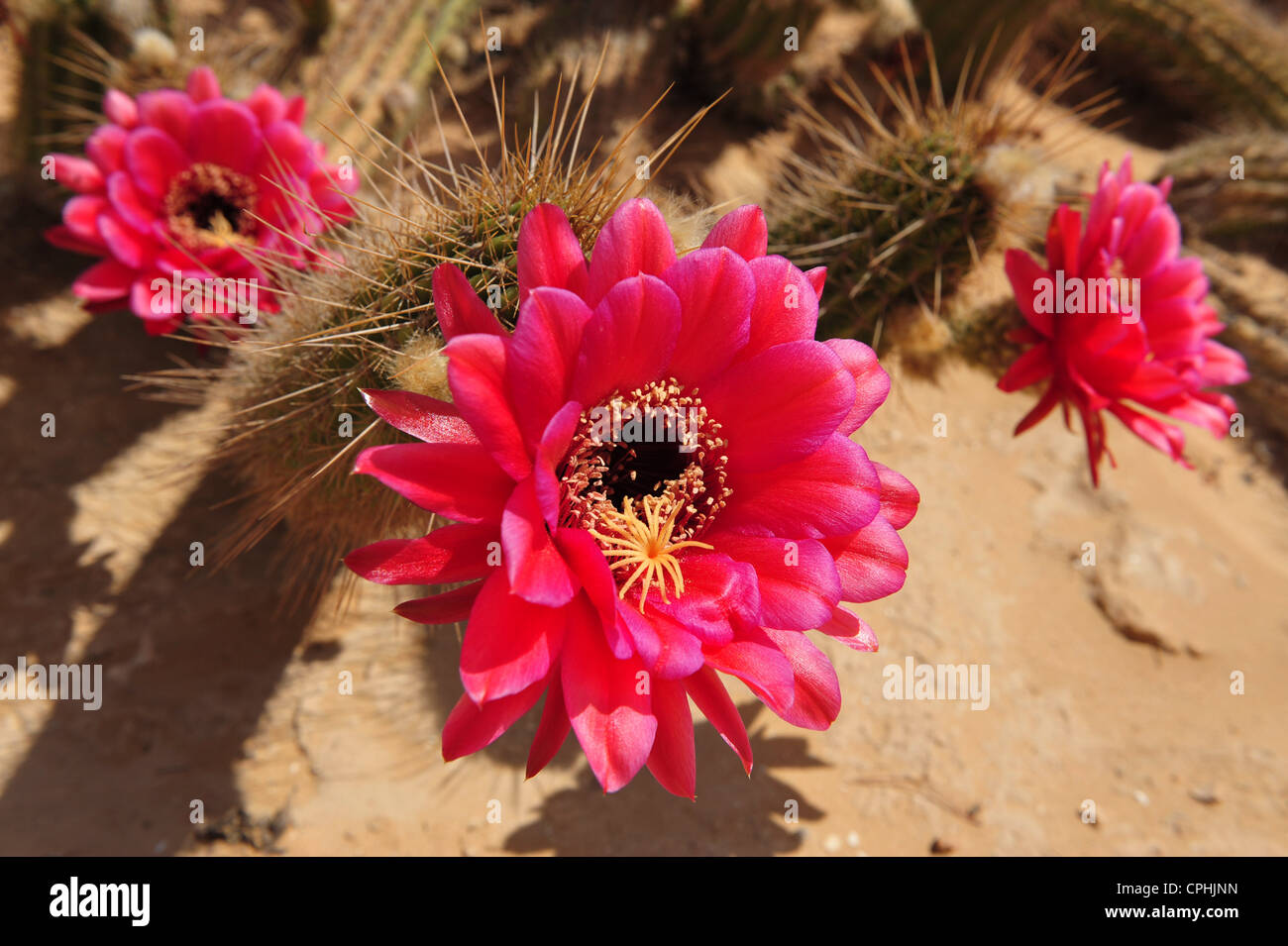 Round Cactus Pink Flowers Stock Photos Round Cactus Pink Flowers