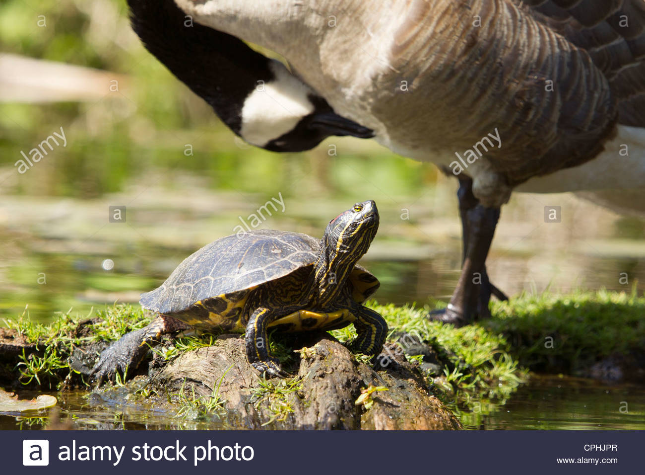 A red-eared slider (Trachemys scripta elegans) rests on a log in a small inlet in the Seattle Arboretum. - Stock Image