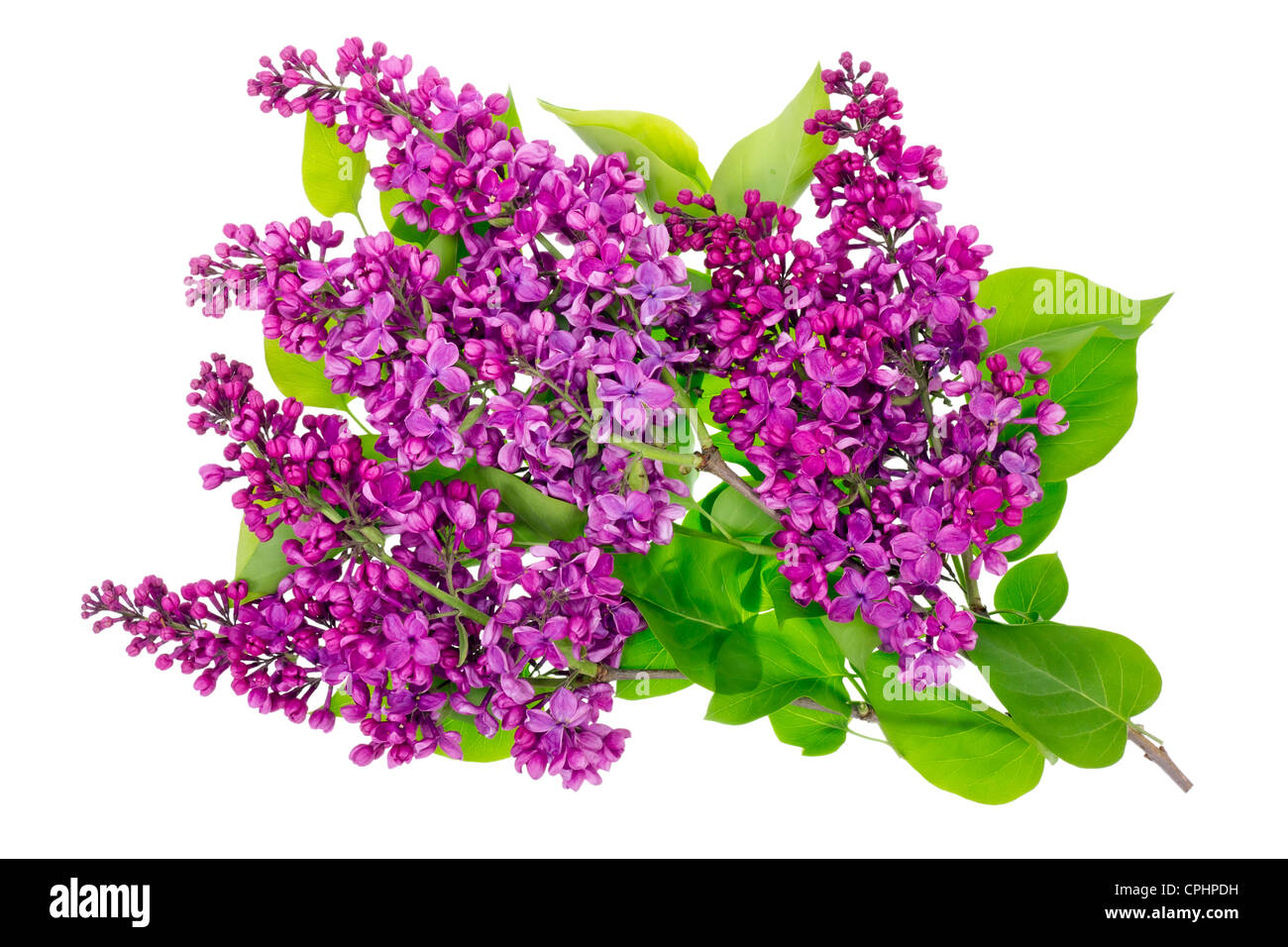 Purple spring lilac isolated branches with leaves high resolution studio shot - Stock Image