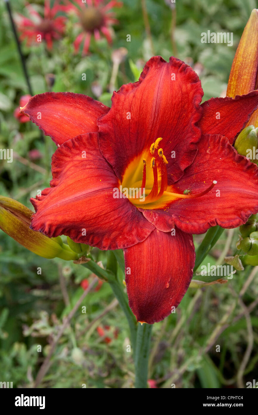 Close up of tiger lily flowers in a garden stock photos close up probably a close up of a bright red splashy tiger lily in a flower garden izmirmasajfo