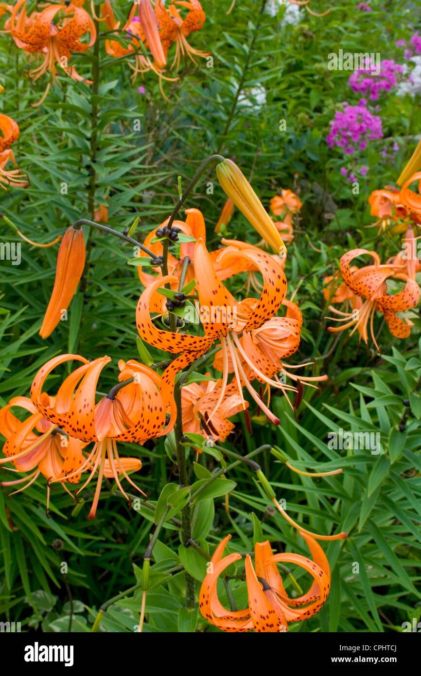 Beautiful orange tiger lily flowers stock photos beautiful orange bright orange colorful tiger lilies growing in a flower garden lanesboro minnesota mn usa izmirmasajfo