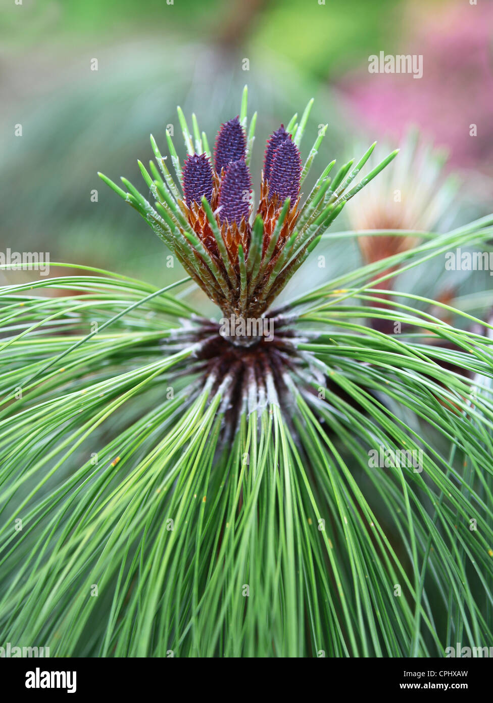 Pinus montezumae, known as the Montezuma Pine, is a species of conifer in the Pinaceae family - Stock Image