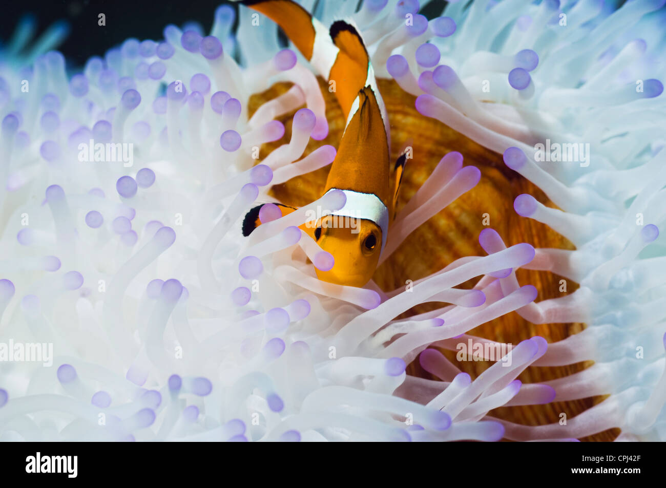 False clown anemonefish (Amphiprion ocellaris) with bleached Magnificent anemone (Heteractic magnifica). Indonesia Stock Photo
