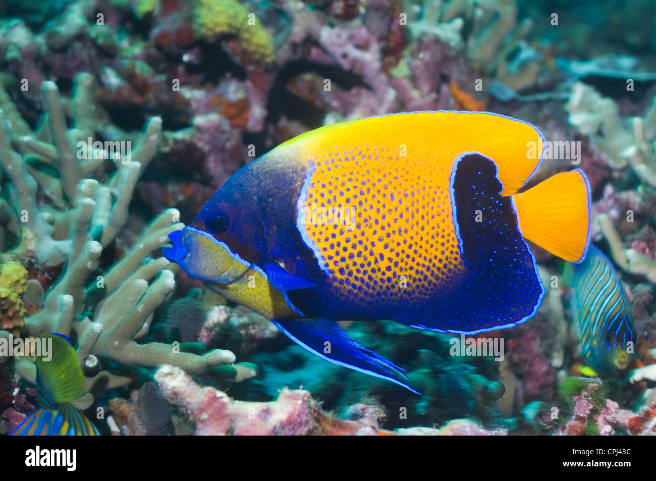 Blue-girdled angelfish (Pomacanthus navarchus). Solomon Islands. West Pacific. - Stock Image