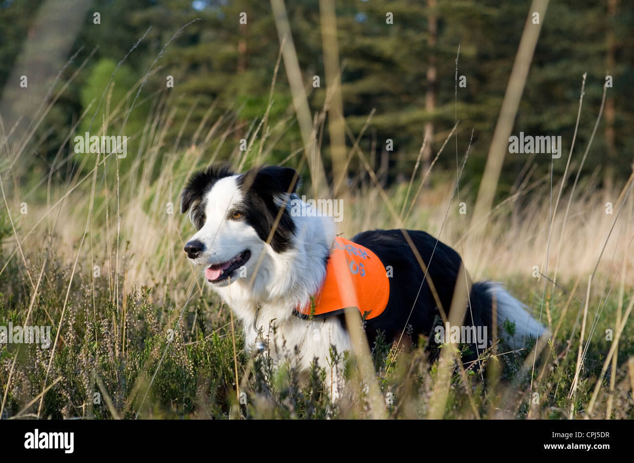 Search and Rescue Dog Single adult working in a field UK - Stock Image