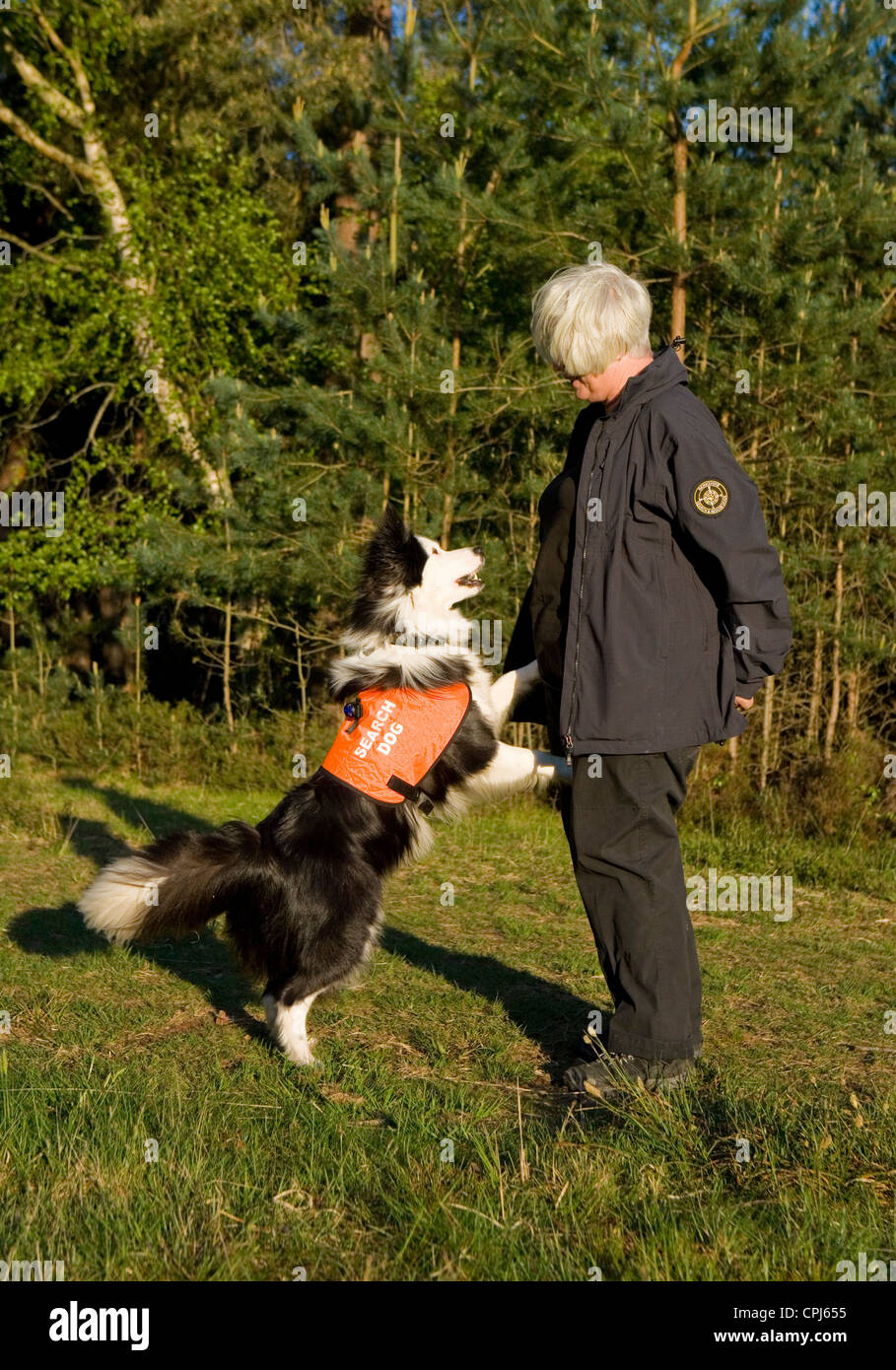 Search and Rescue Dog Single adult alerting owner UK - Stock Image