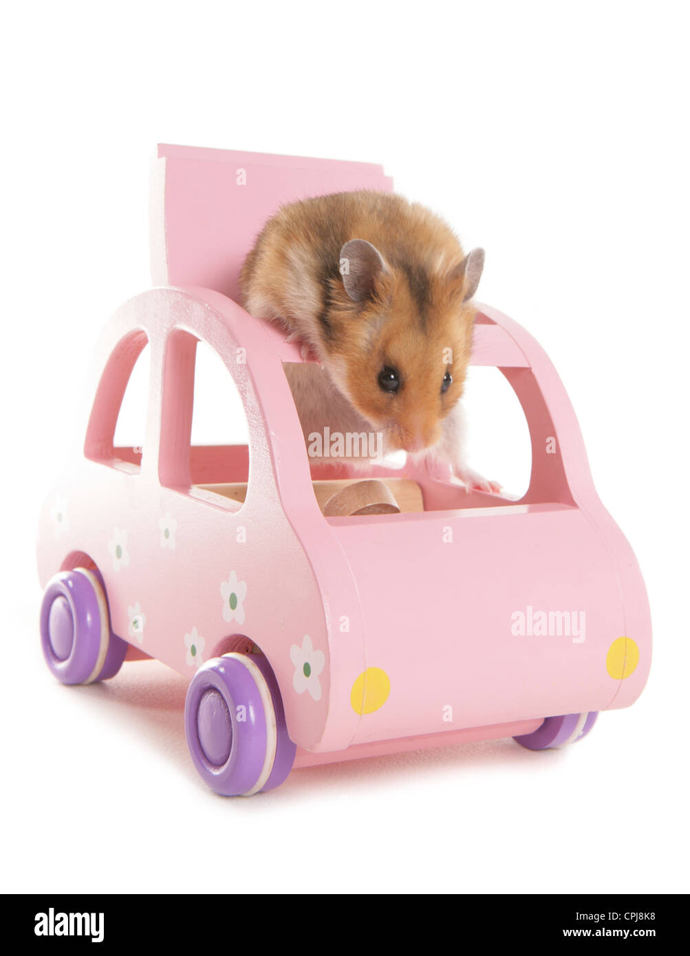 Hamster Single adult in a pink toy car Studio, UK Stock Photo