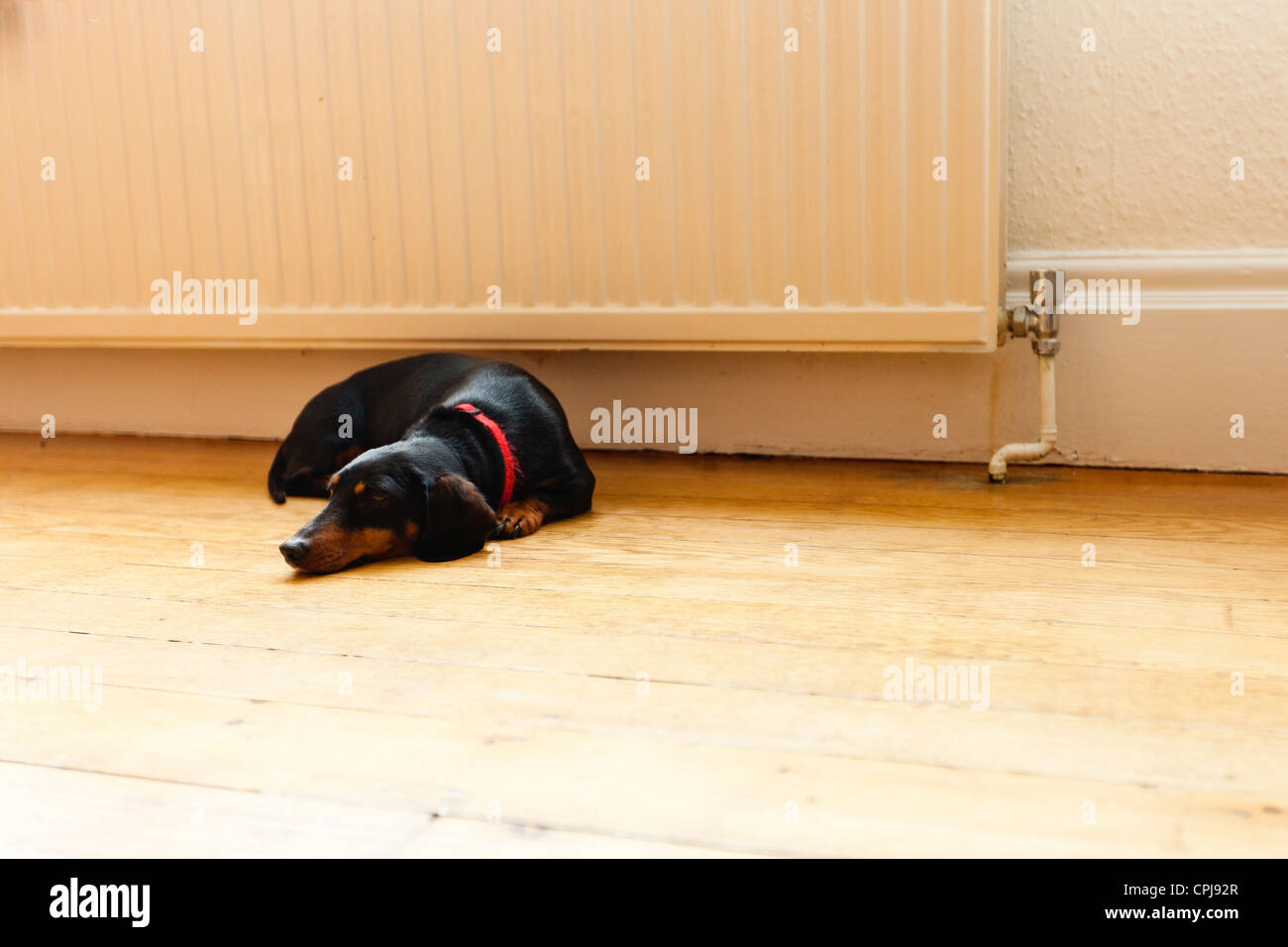 Portrait of Dachshund dog - Stock Image
