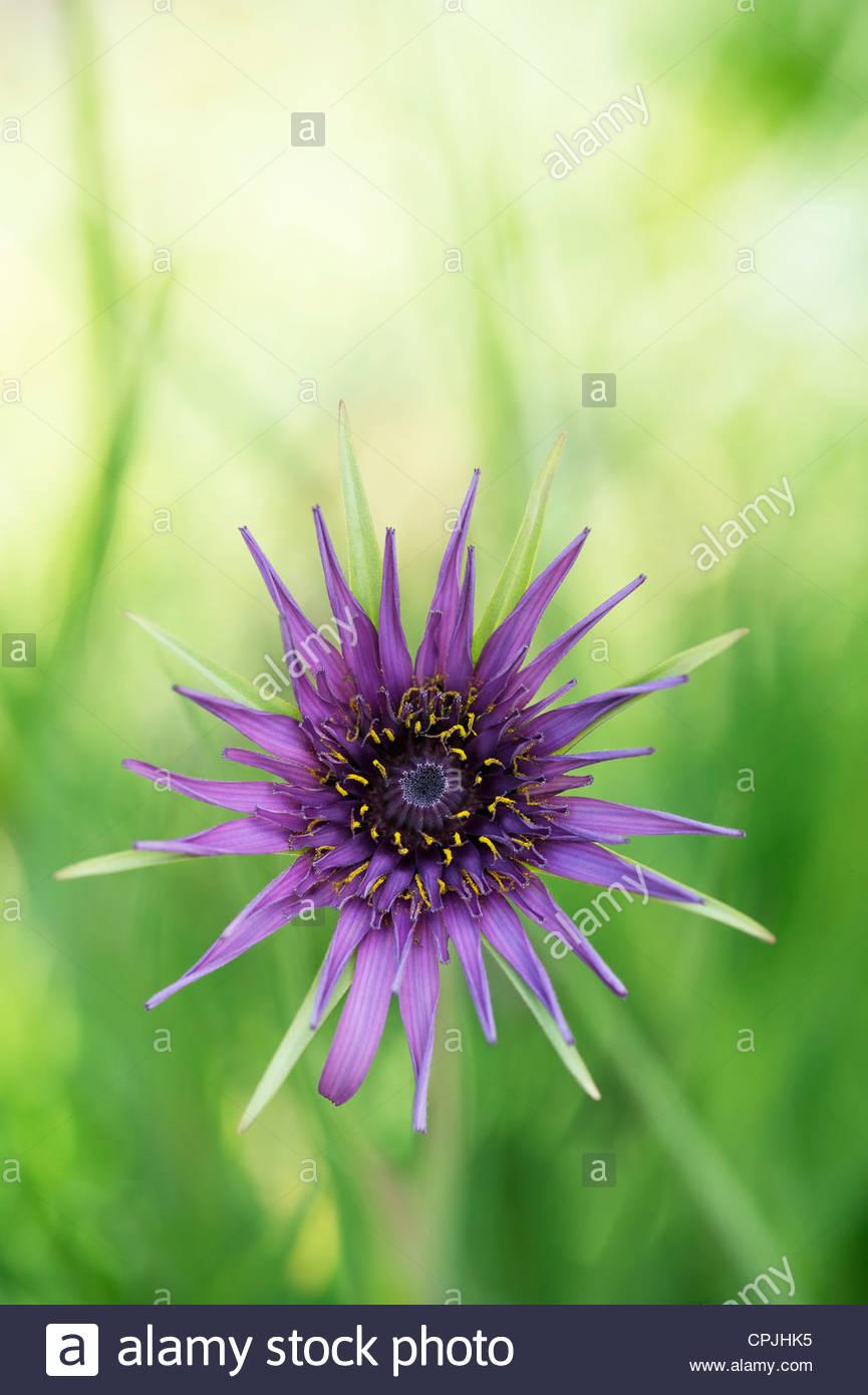 Tragopogon porrifolius. Purple Salsify. Goatsbeard flower - Stock Image