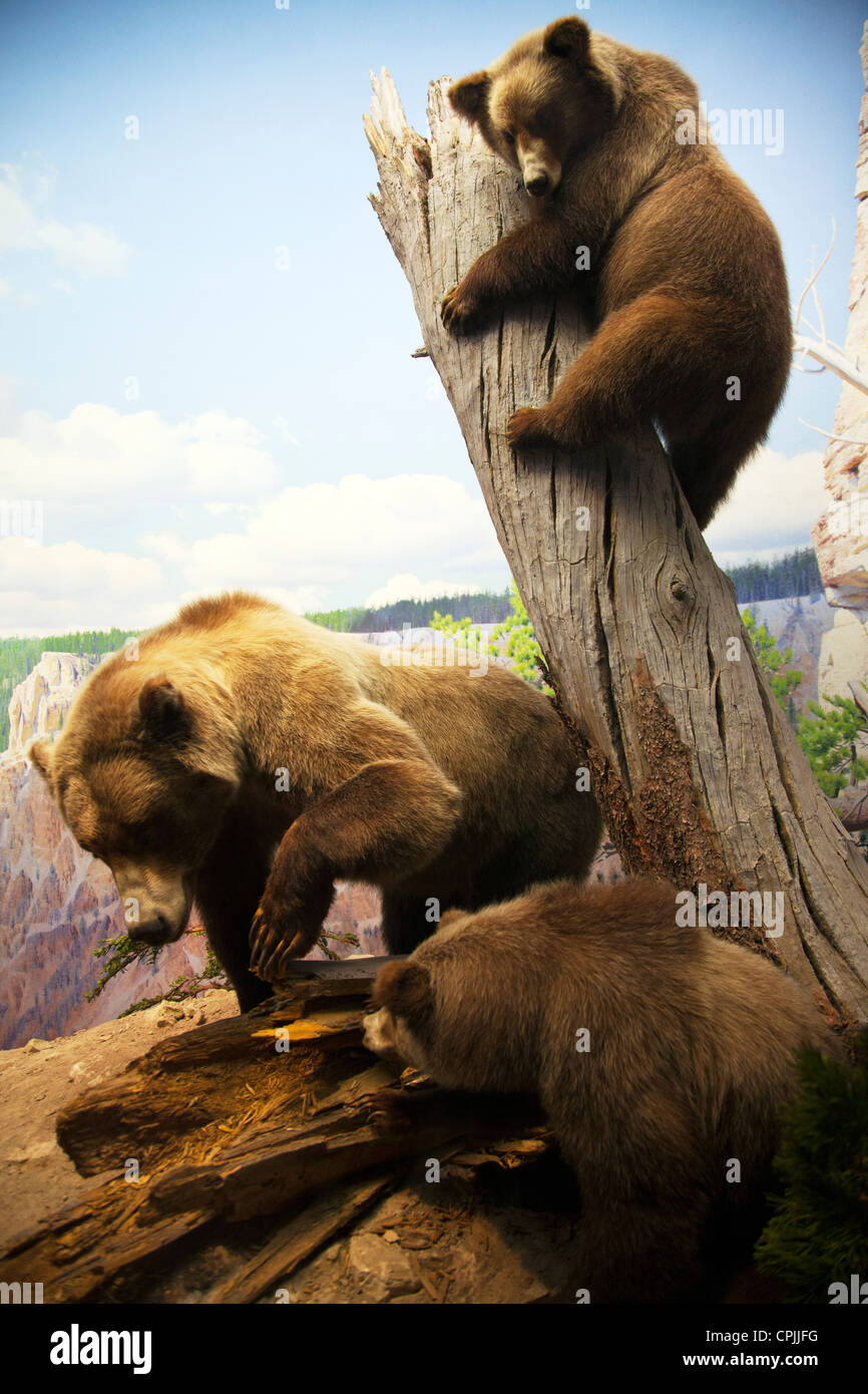 grizzly bear exhibit diorama at American Museum of Natural History New York City - Stock Image