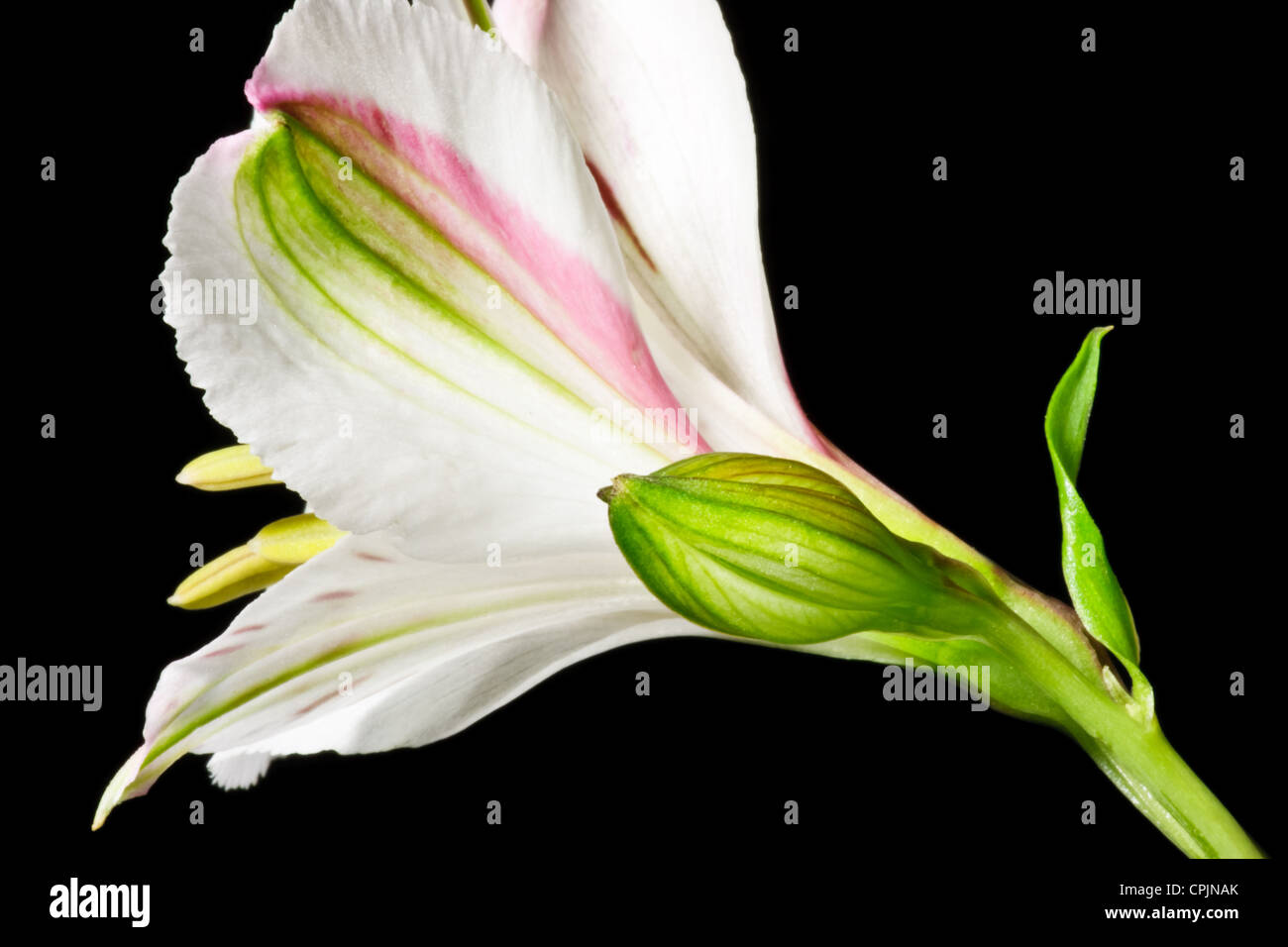 White flower with unopened flower bud - Stock Image