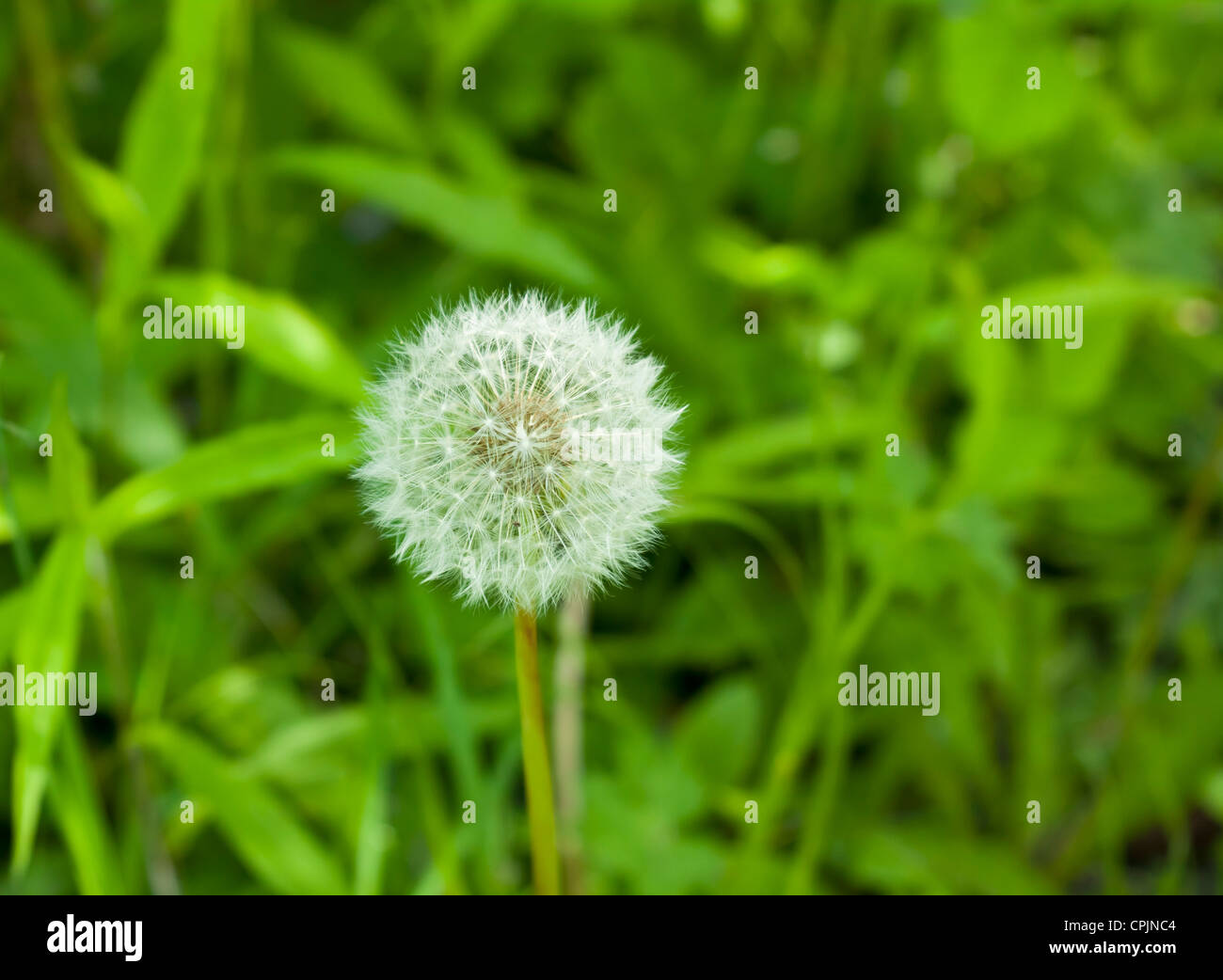 Dandelion flower head,Taraxacum officinale - Stock Image