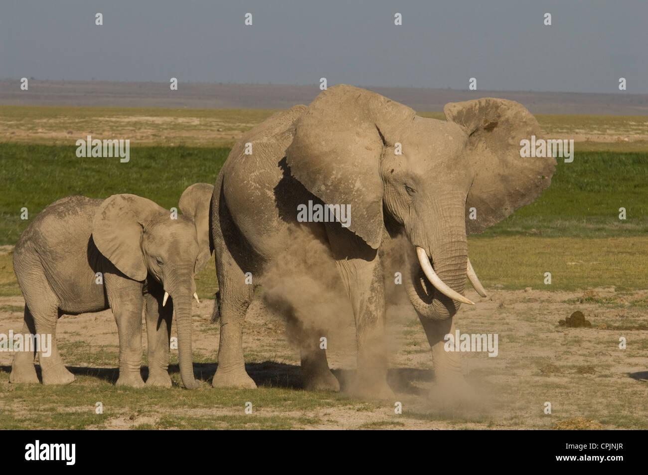 Elephant in herd dusting - Stock Image