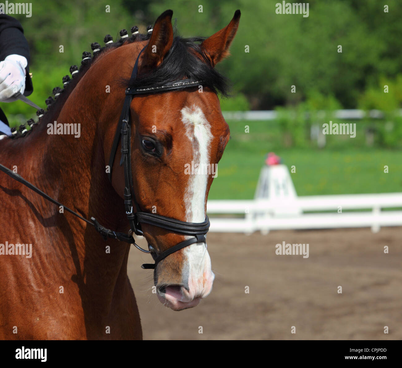 A close-up portrait of beautiful dressage horse during the dressage test Stock Photo