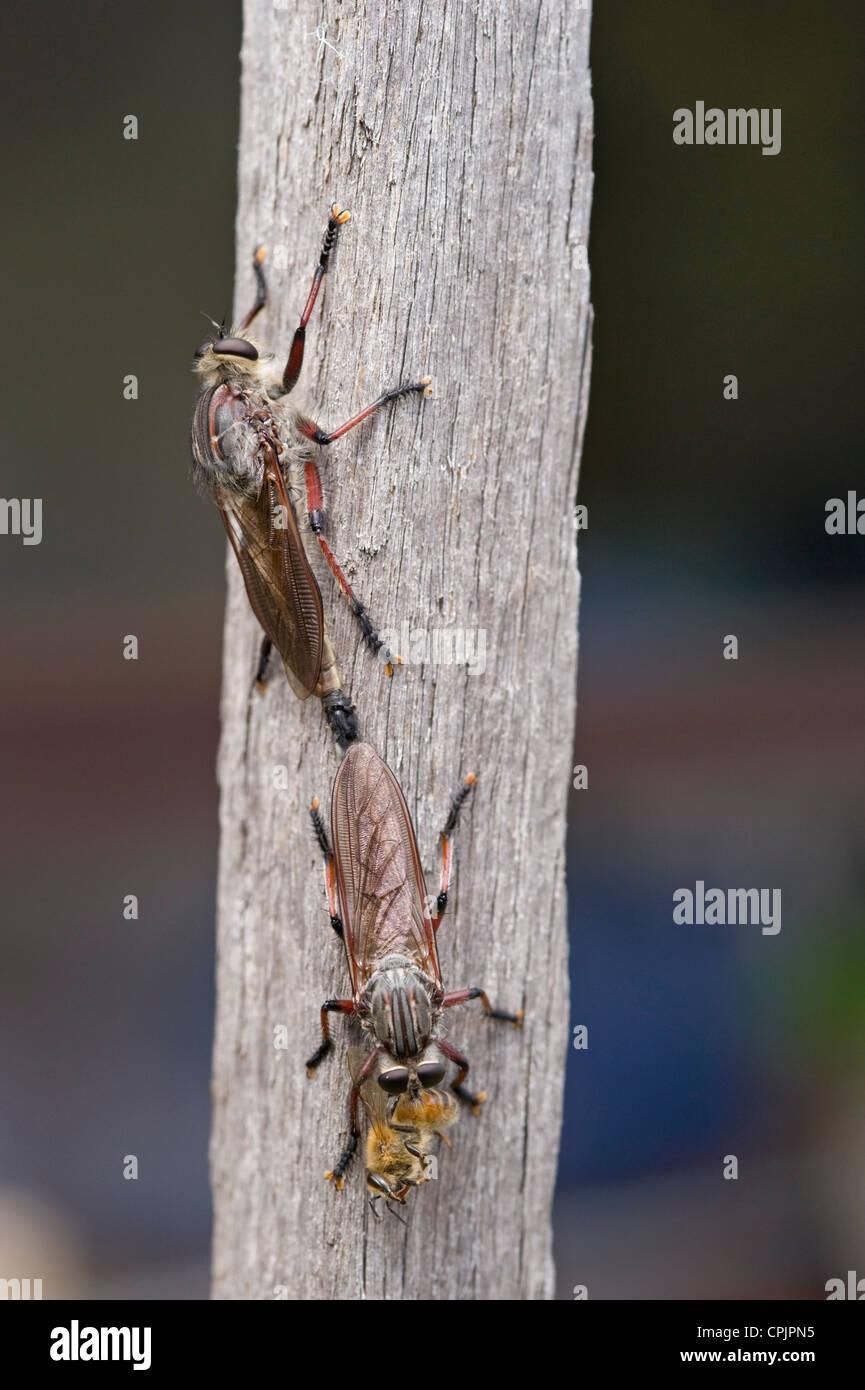 Mating robber flies feeding on bee - Stock Image