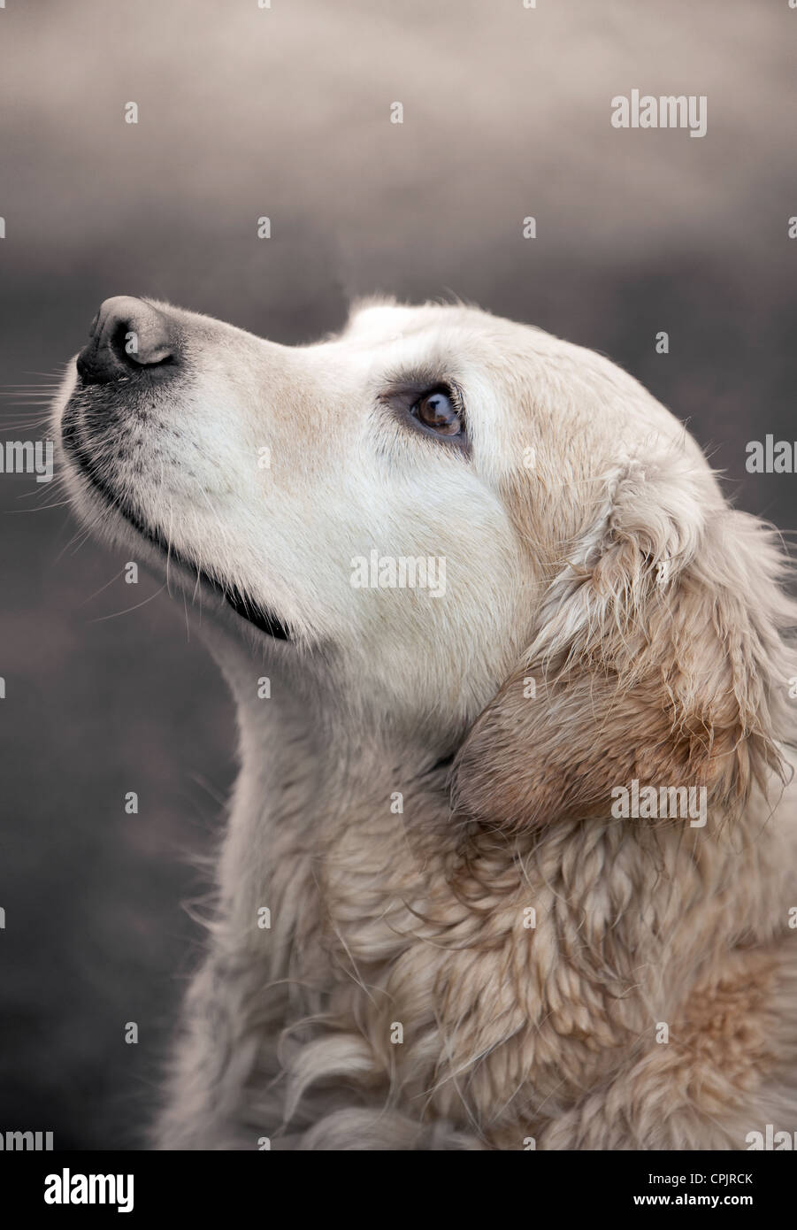 Golden Retriever posed sitting shot from side. - Stock Image