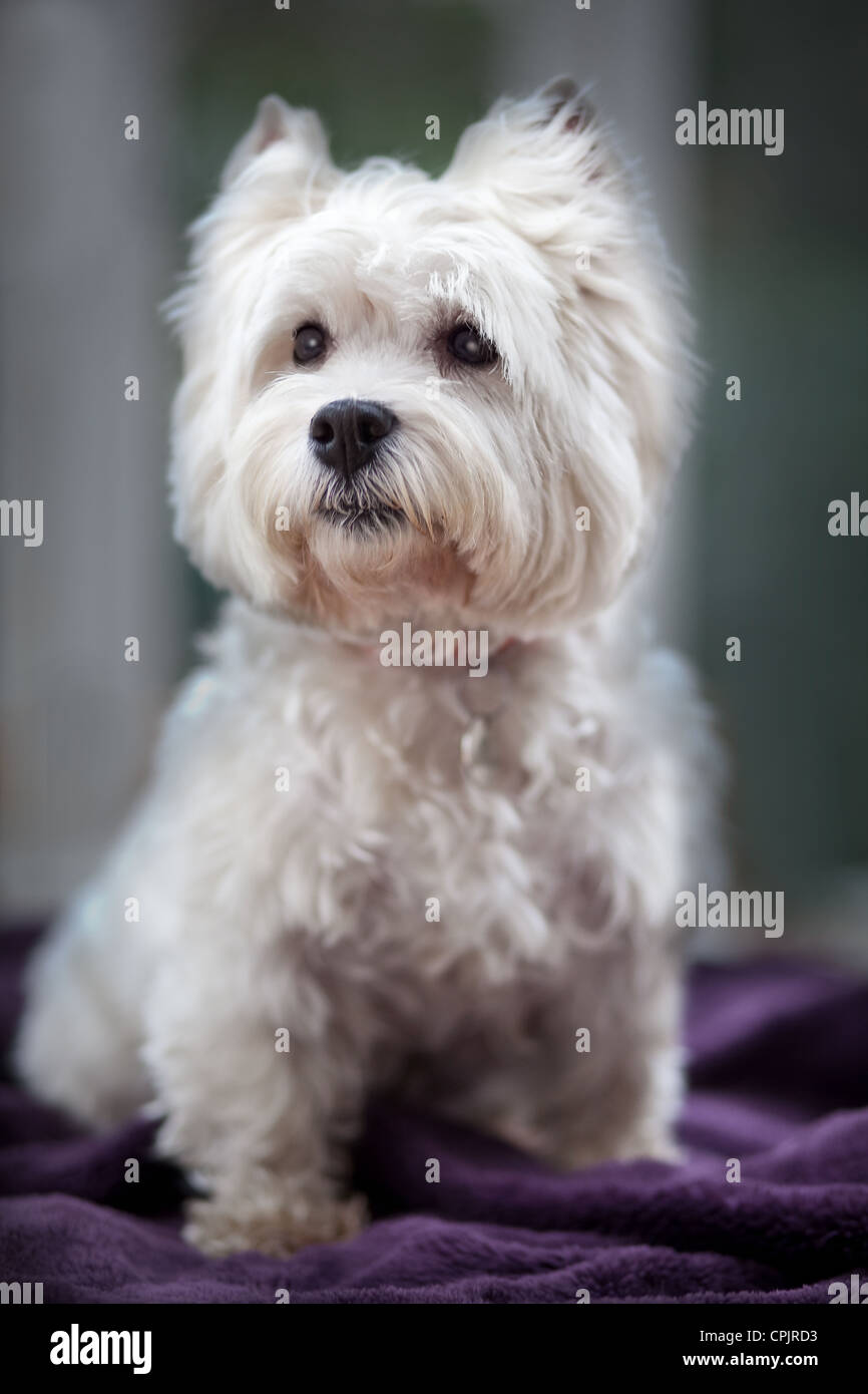 West Highland Terrier posed sitting inside. - Stock Image