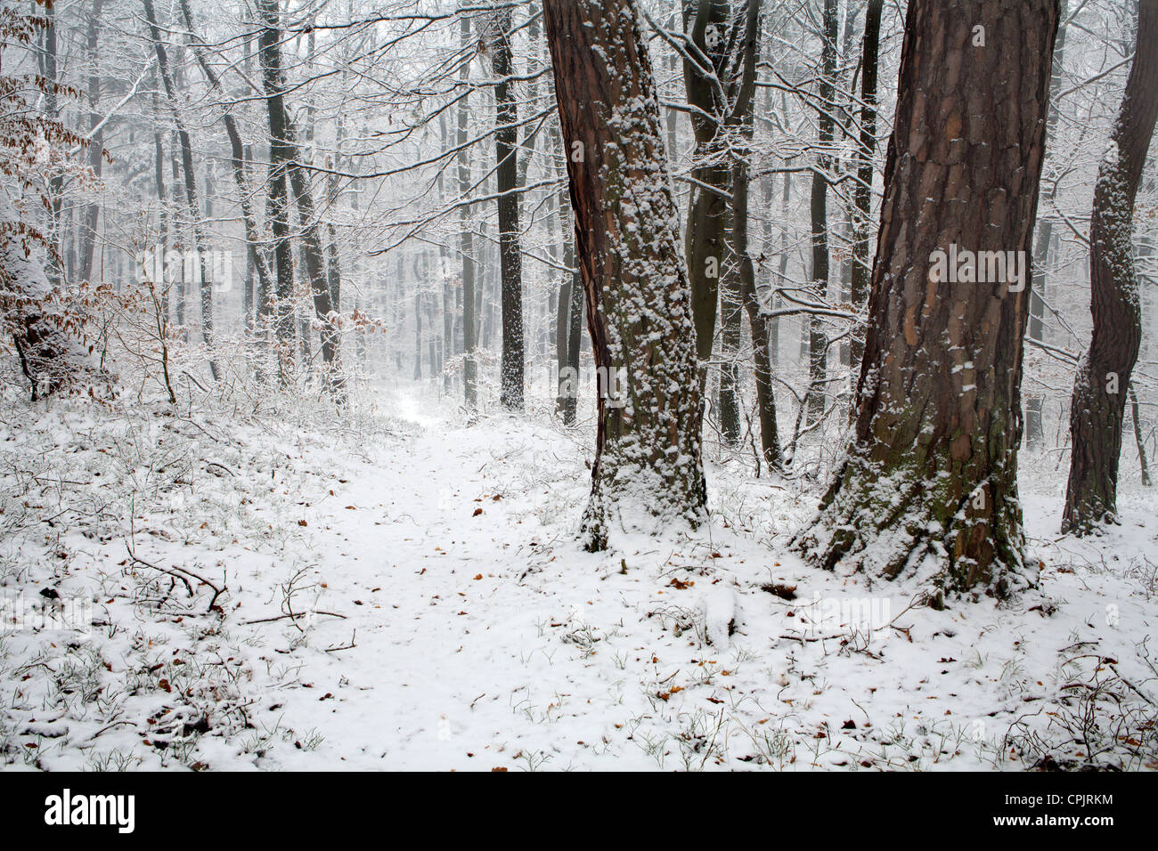 after snowfall in forest - Stock Image