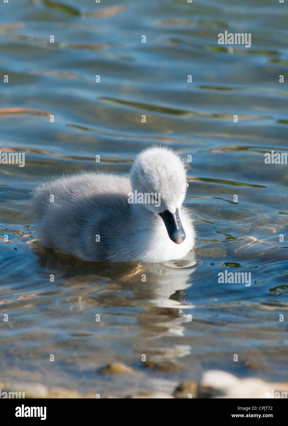 Baby Swan (signet) only 2 days old, Cambourne, Cambridgeshire. UK. Stock Photo