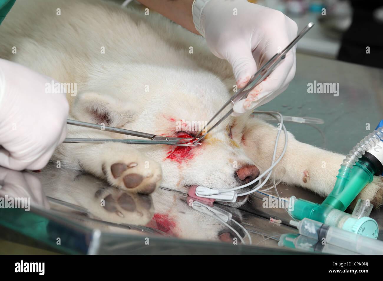Eyelid surgery on young Akita dog - Stock Image