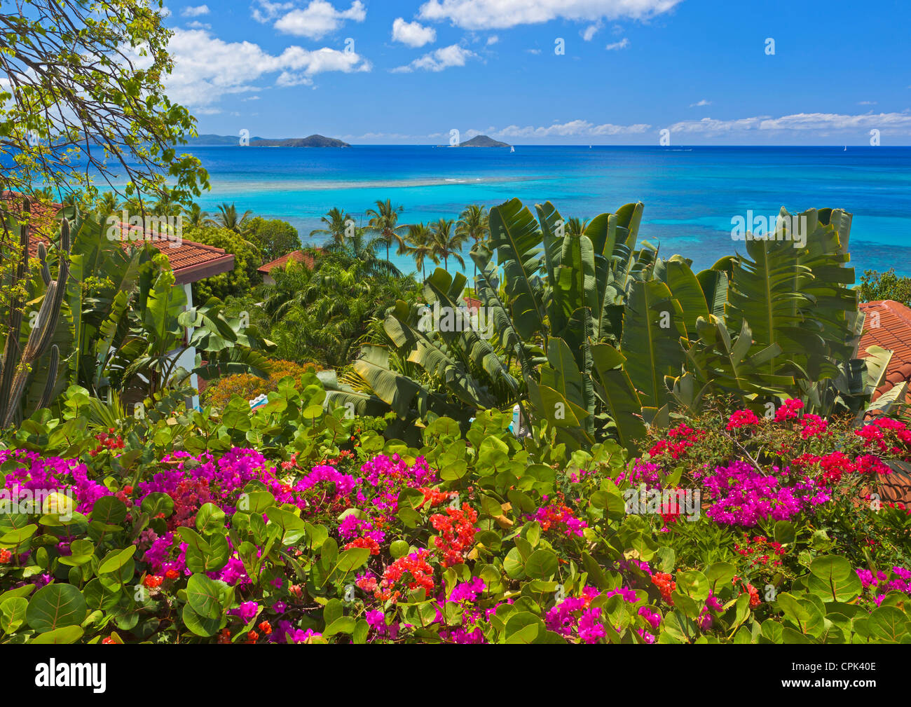 Virgin Gorda, British Virgin Islands, Caribbean A hedge of bougainvillea blooms at an overlook above Mahoe Bay - Stock Image