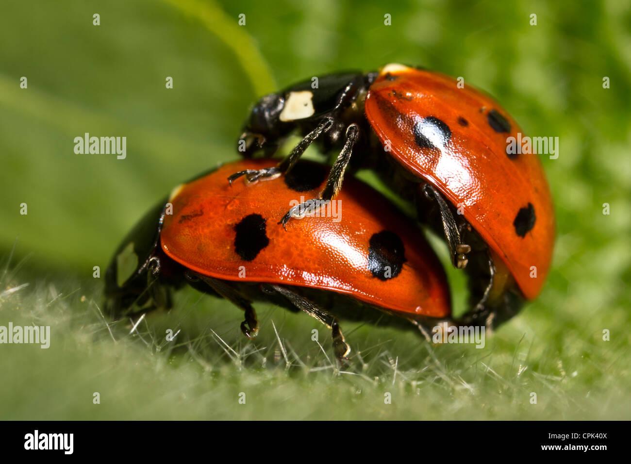 Ladybirds mating - Stock Image