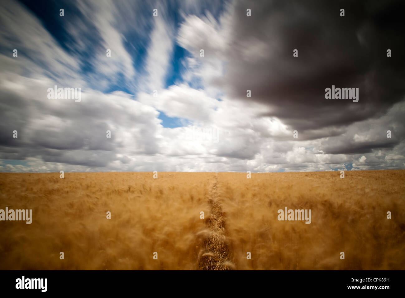 Wheat field on a windy day. Long exposure shot. - Stock Image