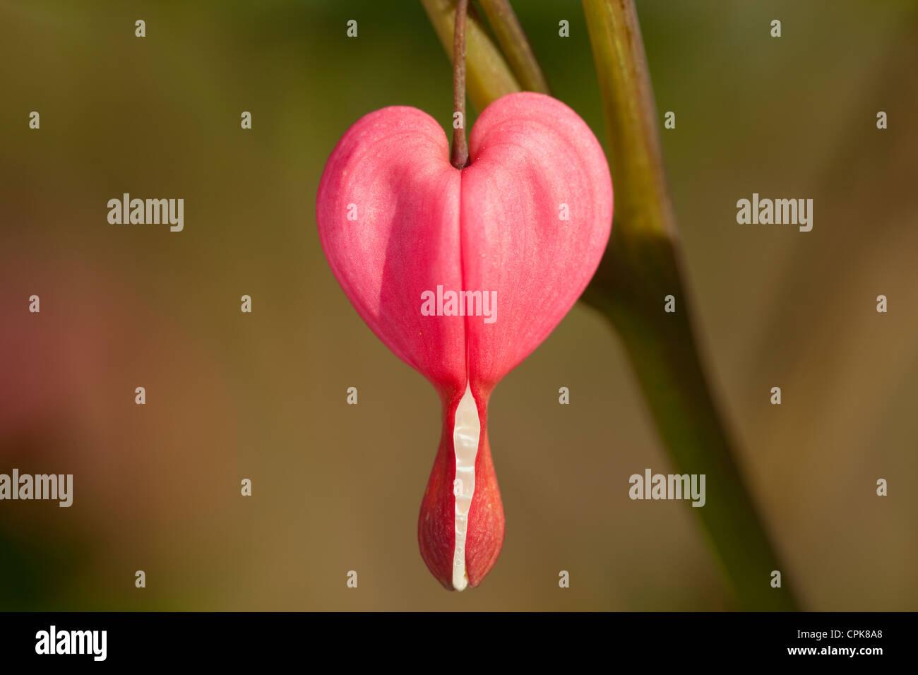 flower in heart shape (Lamprocapnos spectabilis) on stem - Stock Image