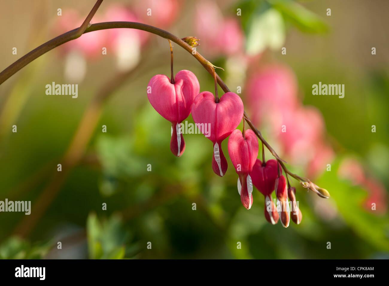 flower in heart shape (Lamprocapnos spectabilis) in garden - Stock Image