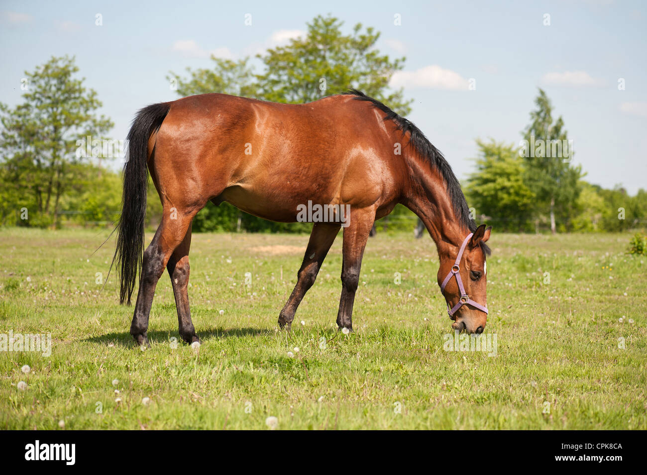 Horse grazing in the pasture - Stock Image