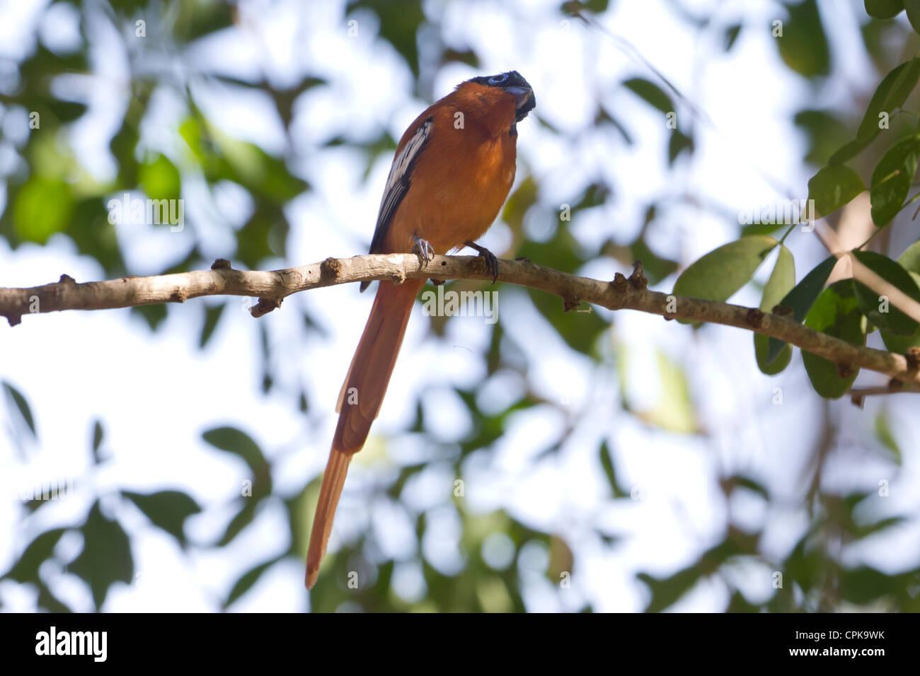female paradise flycatcher, Berenty Reserve, Madagascar Stock Photo