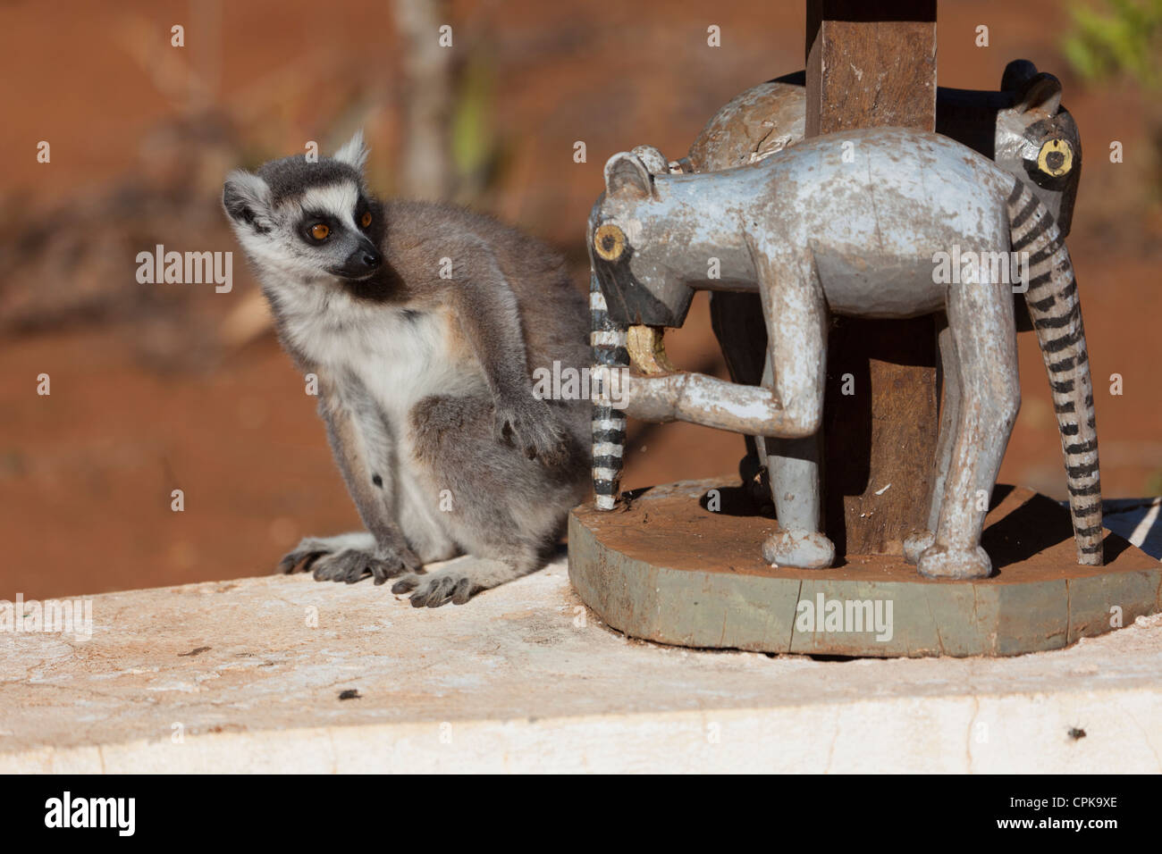 wild ring-tailed lemur (Lemur catta) posing with wooden carving of ring-tailed lemur - Stock Image
