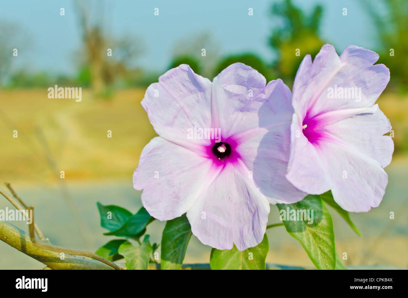 Flowers of pink morning glory / ipomoea carnea / ipomoea fistulosa.of Convolvulaceae family - Stock Image