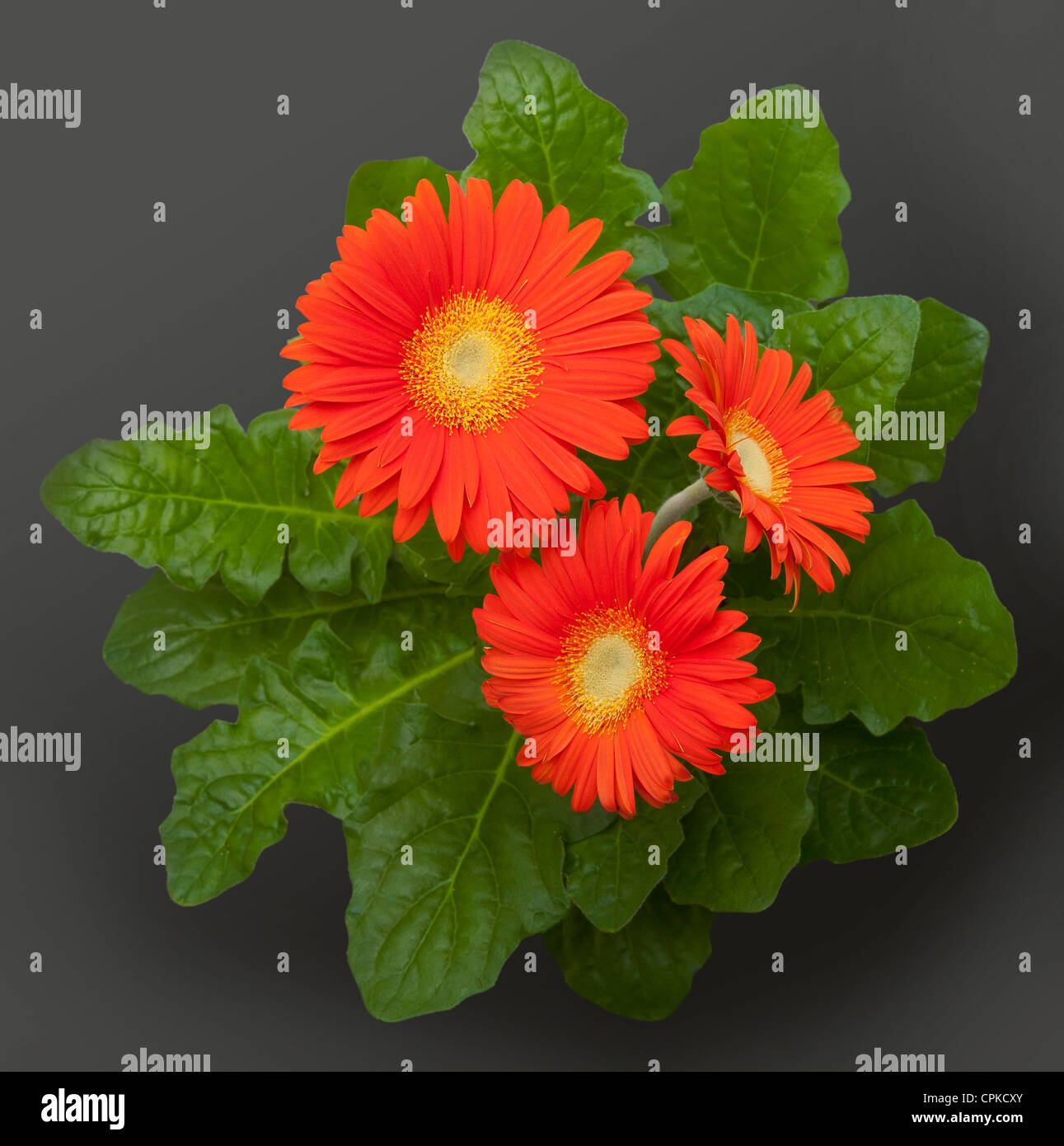 Orange Gerbera daisy flowers - Stock Image